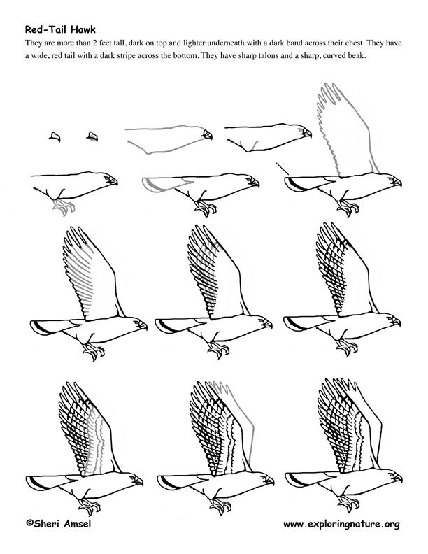 how to draw a red tailed hawk redtailed hawk drawing by craig carlson a draw hawk to how tailed red
