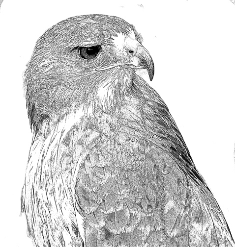 how to draw a red tailed hawk redtailed hawk fine art print by mike sibley a hawk to tailed draw red how