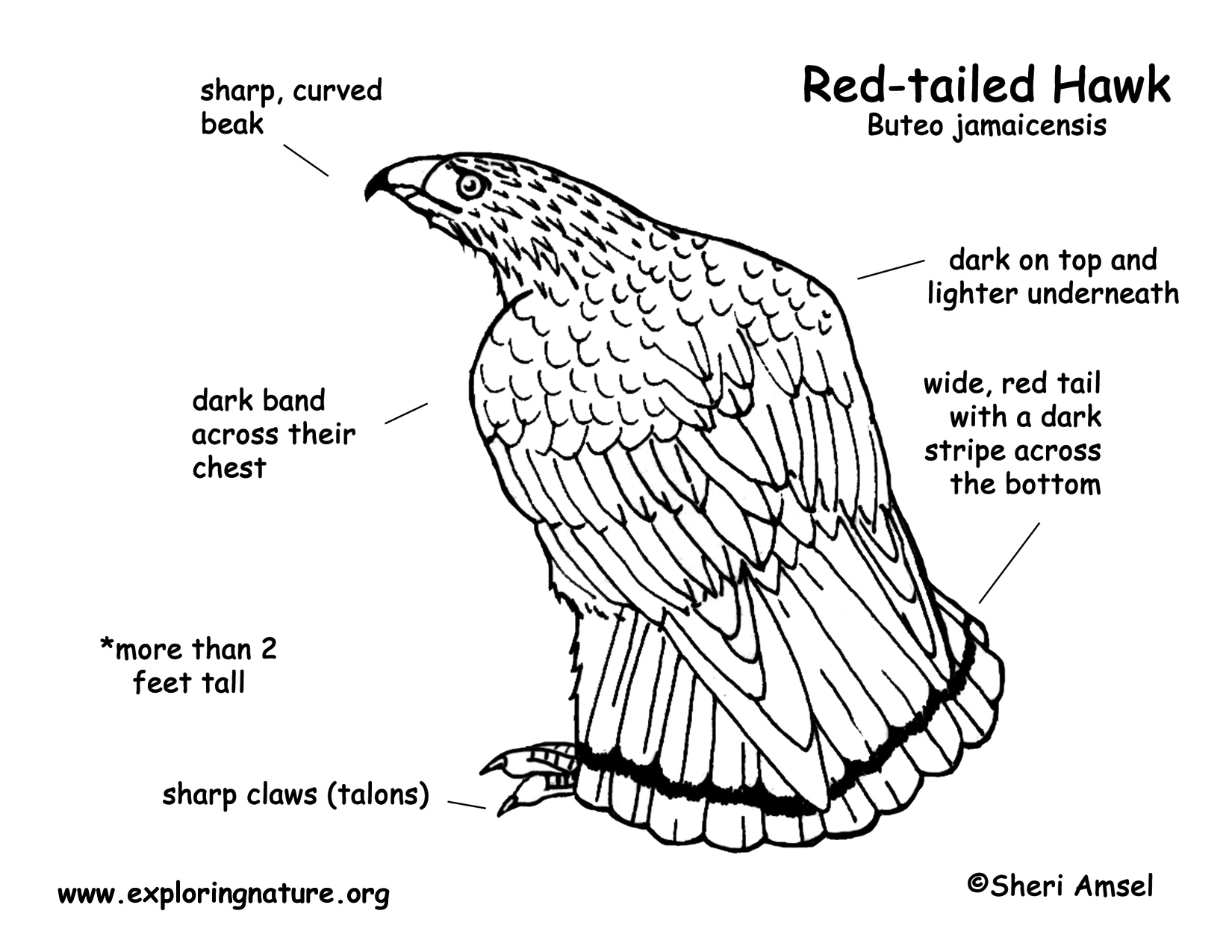 how to draw a red tailed hawk silkadze cool step by step red tailed hawk drawing tailed to a red draw hawk how
