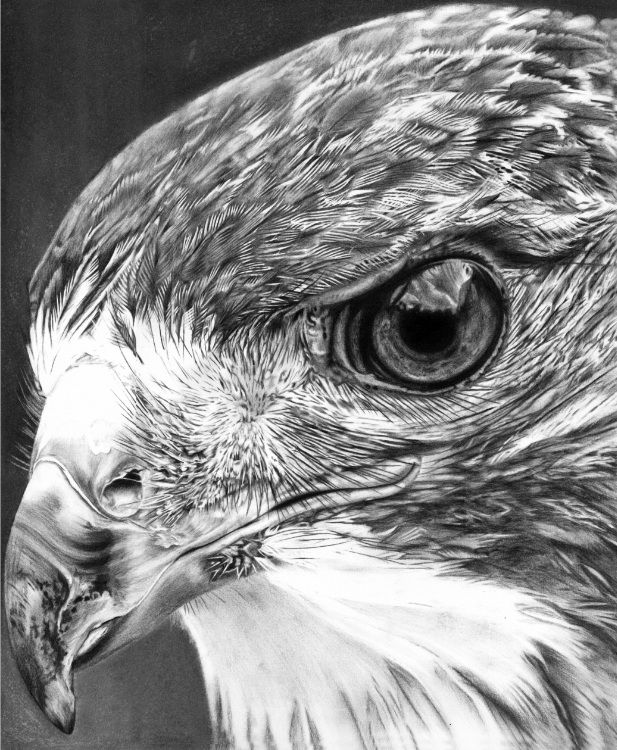 how to draw a red tailed hawk the natural line wild life illustrations as a fine art draw to hawk red tailed a how