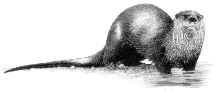 how to draw a river otter otters drawing at getdrawings free download a to draw how otter river