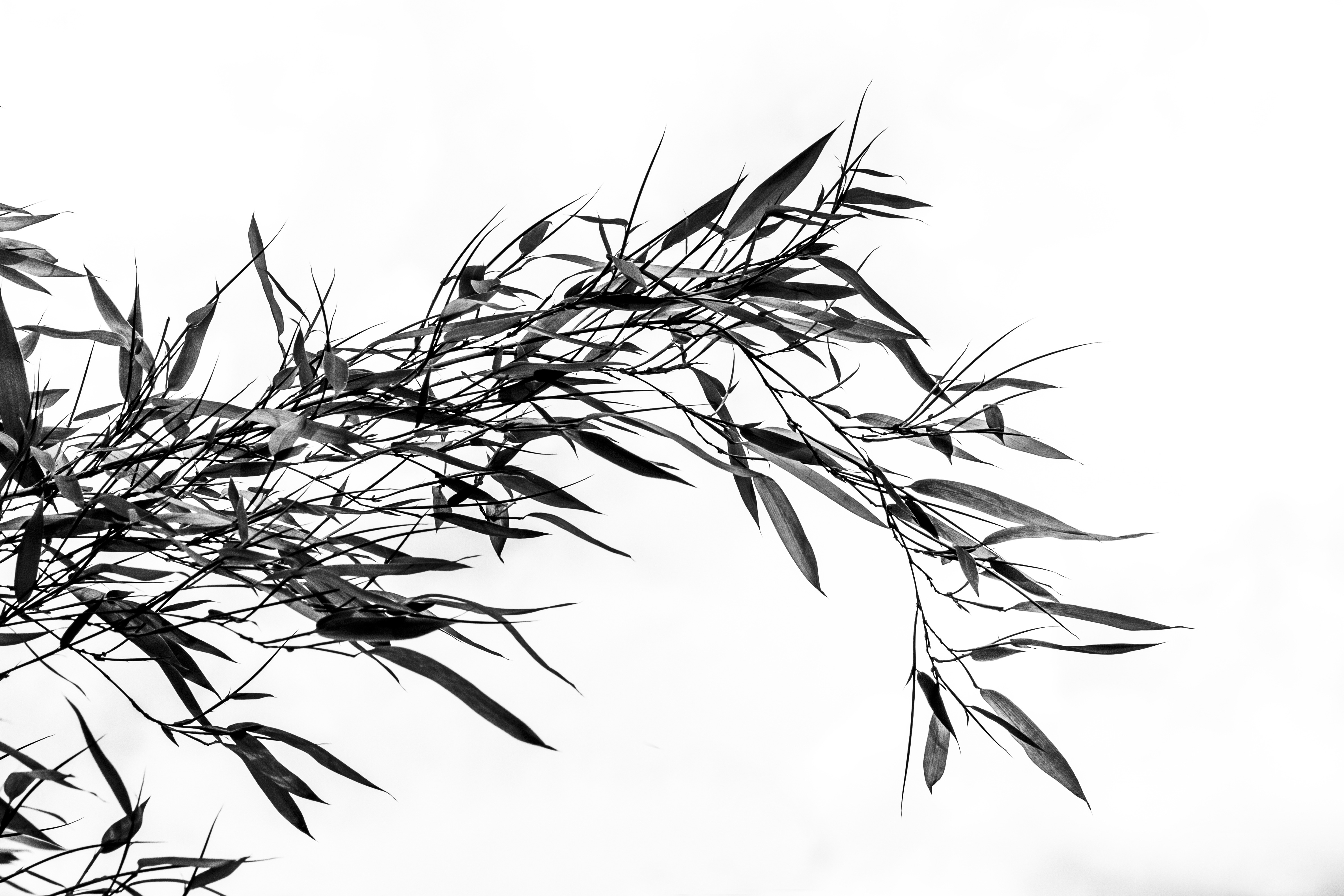 how to draw bamboo leaves free images tree branch black and white plant line bamboo to draw leaves how