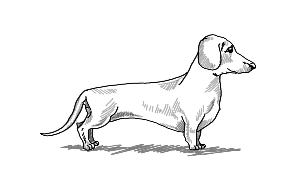 how to draw dachshund step by step how to draw the dachshund dog sketchok step by step step by dachshund to how draw step