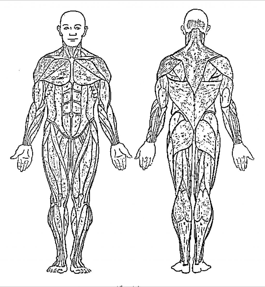 human anatomy coloring pages 17 best images of human muscle worksheets label muscles human anatomy pages coloring