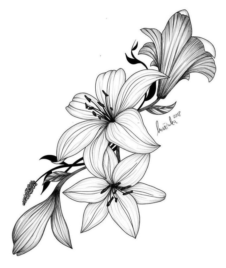 lily flower drawing lily flower drawing drawing lily flower