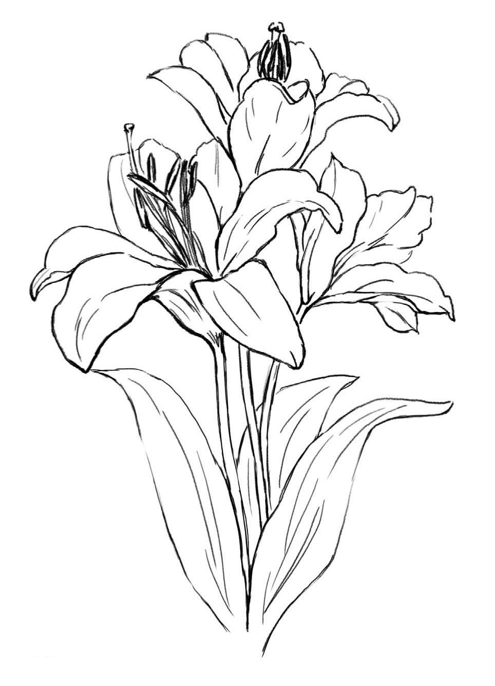 lily flower drawing lily flower drawing outline wallpapers gallery flower drawing lily