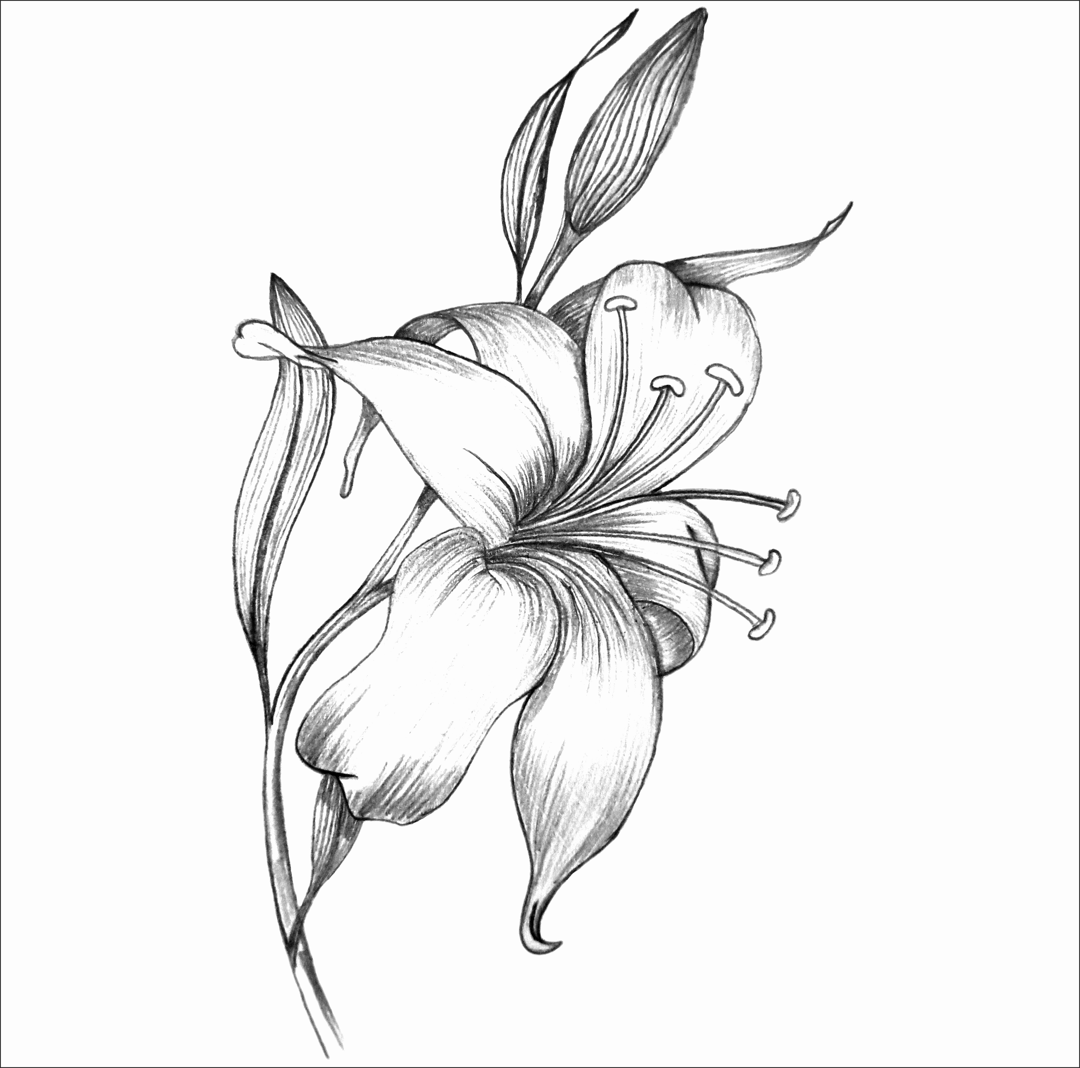 lily flower drawing lily flower drawing pictures at getdrawings free download flower drawing lily
