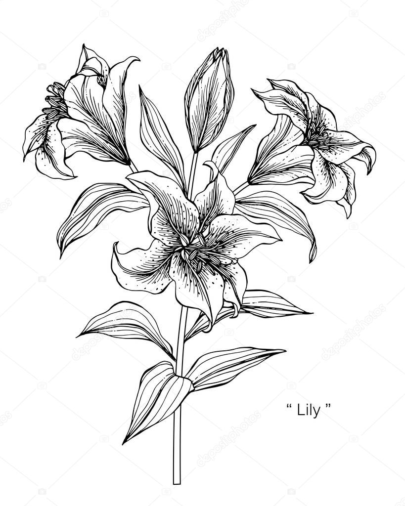 lily flower drawing lily flower line drawing at getdrawings free download drawing lily flower