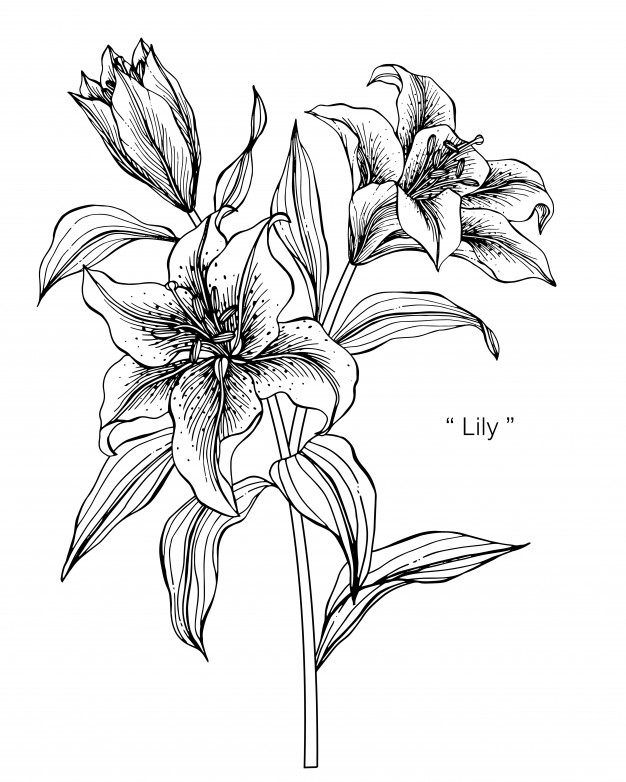 lily flower drawing lily flower line drawing at getdrawings free download flower drawing lily