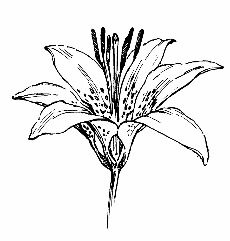 lily flower drawing lily outline drawing at paintingvalleycom explore flower lily drawing