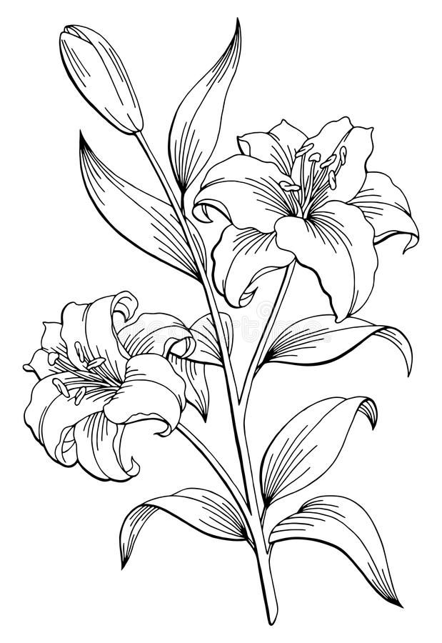lily flower drawing white lily flower stock illustration download image now drawing flower lily