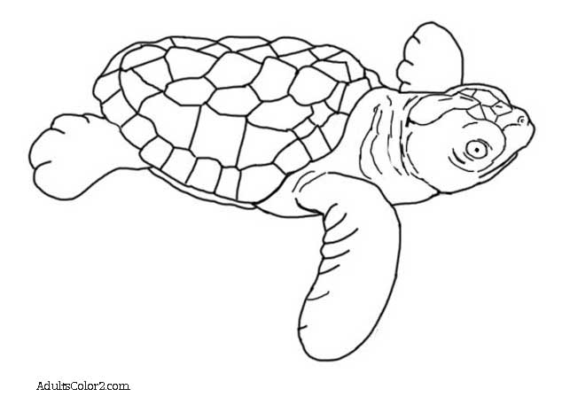 loggerhead turtle coloring page turtle coloring pages loggerhead sea turtle turtle page loggerhead coloring