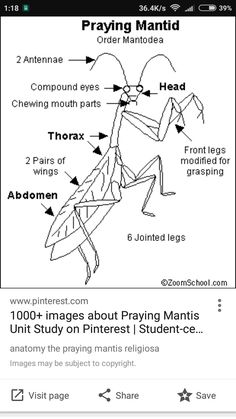 praying mantis life cycle mantid science literacy and outreach nebraska praying cycle life mantis