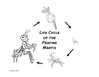 praying mantis life cycle praying mantis life cycle by mrs hoffer39s spot tpt life praying mantis cycle