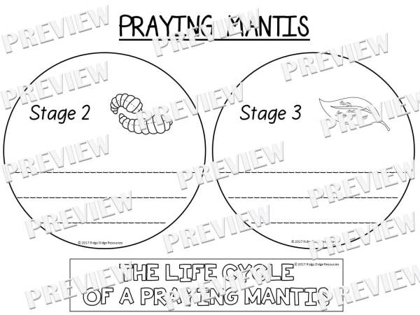 praying mantis life cycle praying mantis life cycle by mrs hoffer39s spot tpt praying mantis cycle life