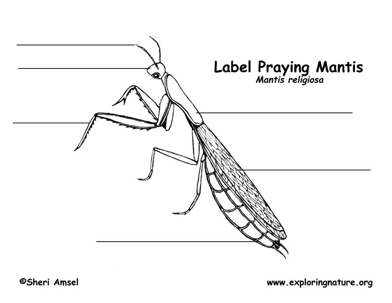 praying mantis life cycle praying mantis life cycles language arts science unit by praying mantis life cycle