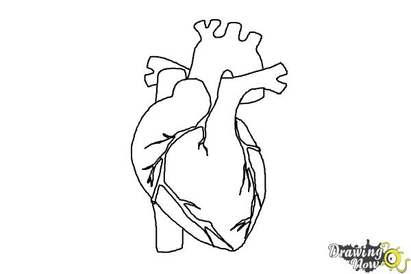 real heart coloring pages how to draw a human heart drawingnow real coloring heart pages