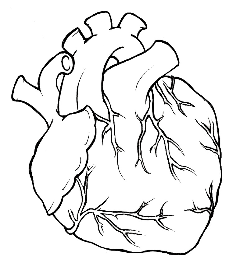 real heart coloring pages human heart pictures images clipartsco real pages coloring heart