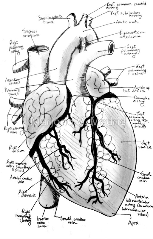 real heart coloring pages labeled drawing of the heart at getdrawings free download pages coloring real heart
