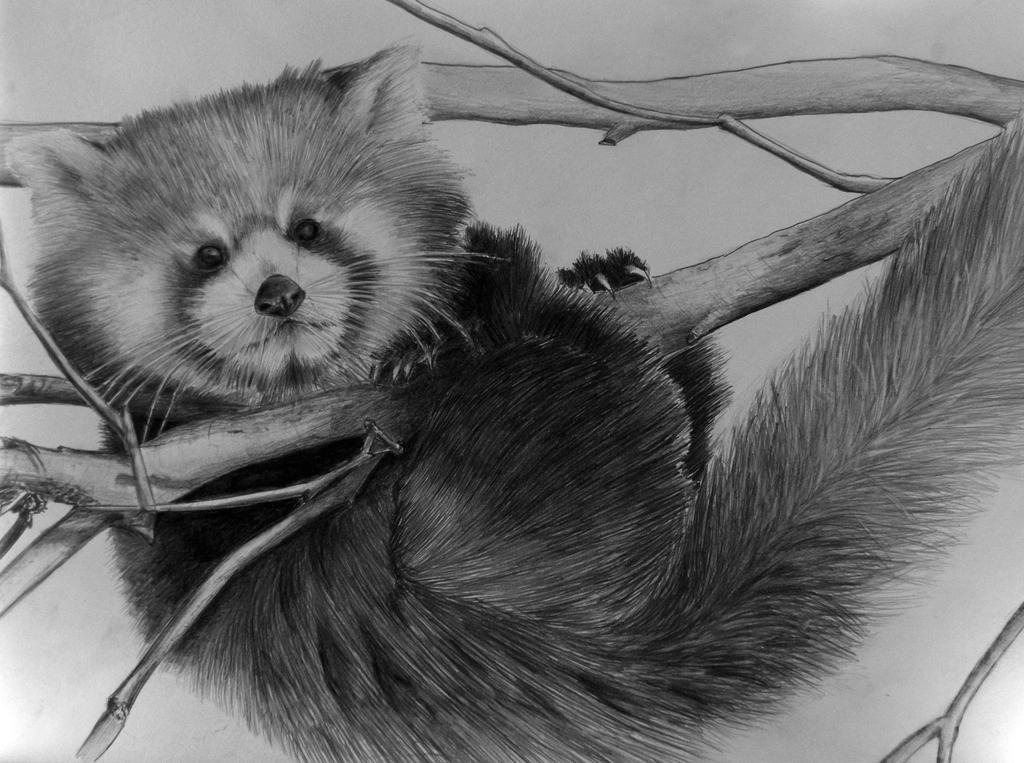 red panda drawing baby red panda original charcoal drawing by ashley red drawing panda
