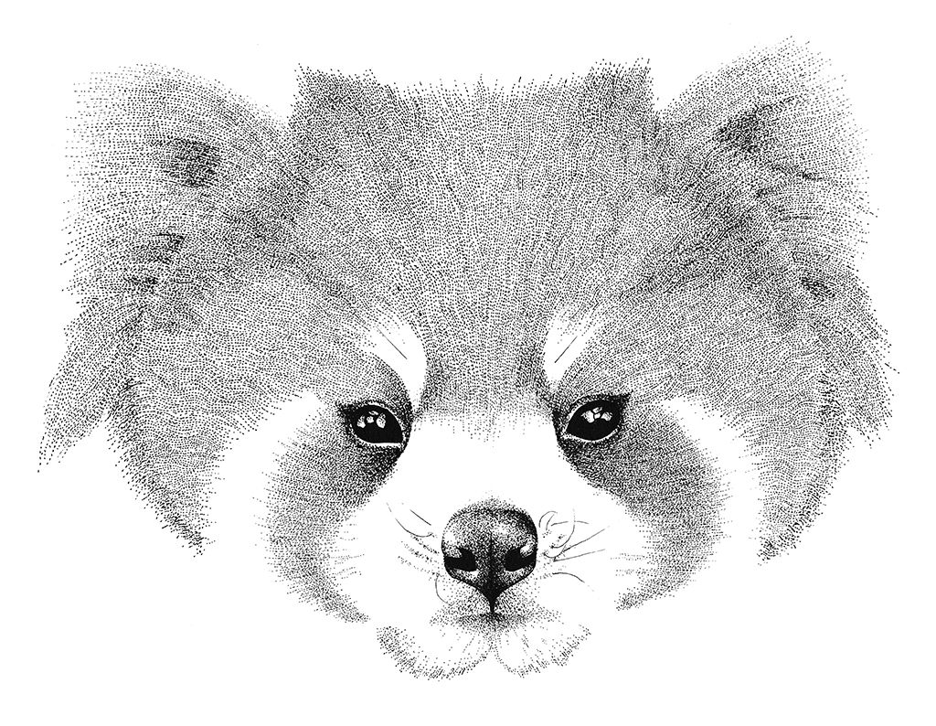 red panda drawing red panda 5 by panda kiddie on deviantart drawing panda red