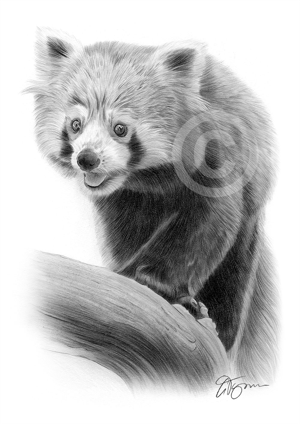red panda drawing red panda ink illustration drawing by loren dowding drawing red panda
