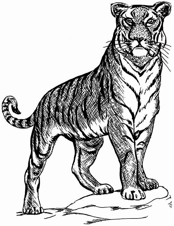 tiger coloring book pages a tiger on guard posture coloring page download print coloring pages book tiger