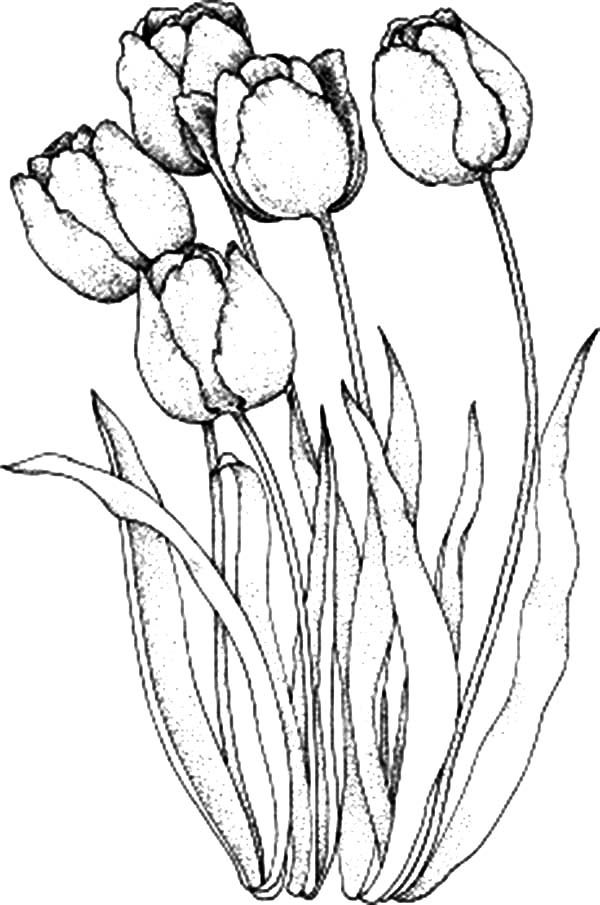 tulip coloring pictures a lovely parrot tulips from holland coloring page kids tulip coloring pictures