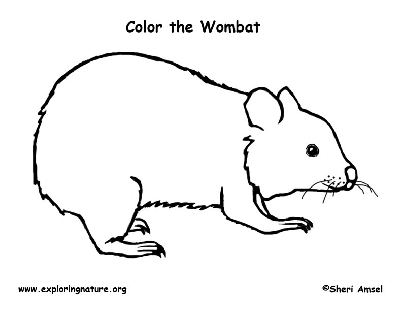 wombat colouring wombat coloring page coloring home colouring wombat