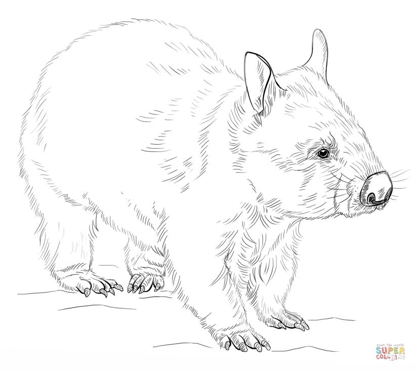 wombat colouring wombat coloring page coloring pages 4 u wombat colouring